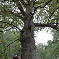 Le chêne des pendus